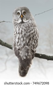 Owl in snowy forest. Winter. Great Grey Owl is the largest of all owls. Strix nebulosa.