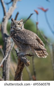 Owl, Sonoran Desert Nature Center