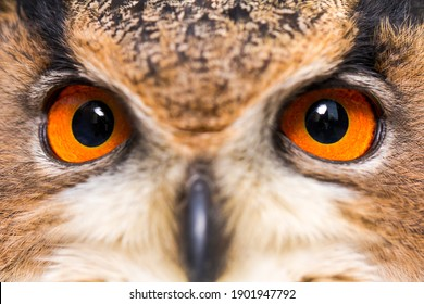 The owl species has distinctive orange coloured eyes. The Eagle Owl is capable of eating small mammals and is one of the largest owls.