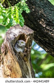 Owl (Spotted owlet) in cavities nature