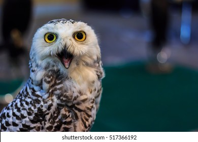 Owl staring with golden eyes