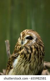 Owl Strix