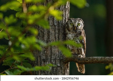 Owl at sunrise. Boreal owl, Aegolius funereus, perched on branch. Typical small owl with big yellow eyes in first morning sun rays. Known as Tengmalm's owl. Habitat Europe, Asia, N. America.