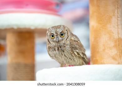 Owl tamed at home. Pet feeding owls. Little owlet.