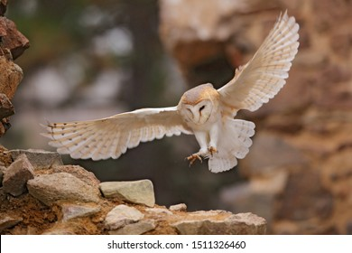 Owl, Tyto alba, with nice wings, landing on stone wall, light bird flying in the old castle, animal in the urban habitat. Wildlife scene from nature. Barn owl in old stone house.