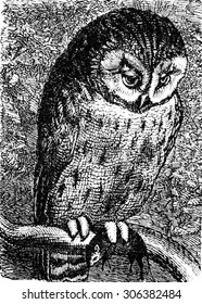 Owl, vintage engraved illustration. La Vie dans la nature, 1890.