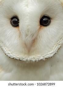 owl/barn owl/owl close up
