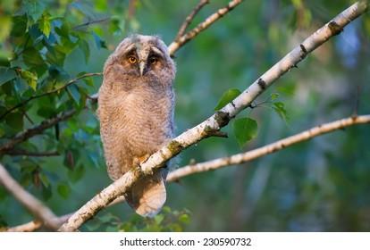 Owlet Love
