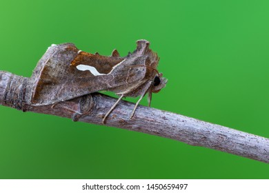 owlet moth - Dewick's Plusia - Macdunnoughia confusa