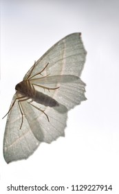 owlet moth isolated insect