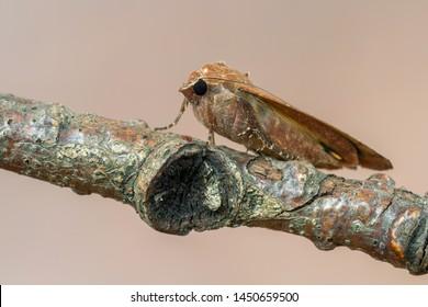owlet moth - Large Yellow Underwing - Noctua pronuba