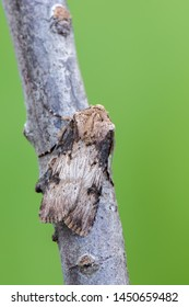 owlet moth - Shuttle-Shaped Dart - Agrotis puta