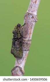 owlet moth - Tree-Lichen Beauty - Cryphia algae