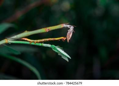 Owlet, prominent, geometrid moth caterpillar, looper, inchworm (Arthropoda: Hexapoda: Pterygota: Lepidoptera: Notodontidae: Geometridae: Gargetta Curvaria) mimicking, pretend as a twig with two tails