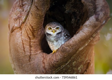 Owlet waking up and standing in the hollow tree nest looking at the camera.Spotted owlet (Athene brama)  in the nest.
