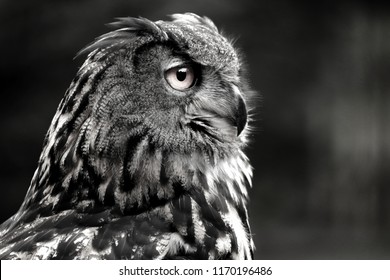 Owls are birds from the order Strigiformes, which includes about 200 species of mostly solitary and nocturnal birds. Owls hunt mostly small mammals, insects, and other birds. Photo of animal world.