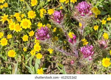 Owl's clover (Castilleja exserta) blooming among Goldfield flowers, California