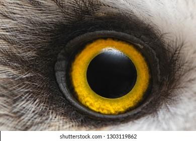 Owls Eye Close Up Macro Photo Eye Of The Short Eared Owl