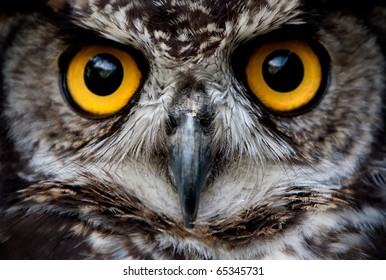 Owls Are The Order Strigiformes Constituting 200 Extant Bird Of Prey Species Most Are Solitary And Nocturnal