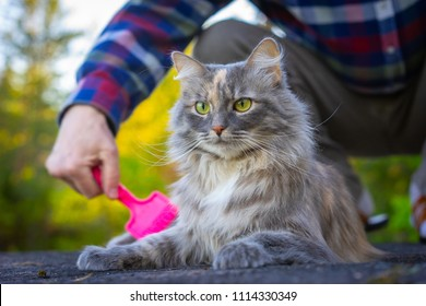 The owner combs the cat. Wool of a cat. A man is combing the fur of a gray cat. Courtship for a pet.