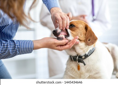 The owner of the dog shows the veterinarian the pet's teeth. Blurred background of veterinary clinic.