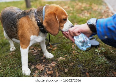 Le propriétaire a donné de l'eau à boire aux chiens de Beagle