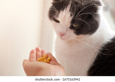 The owner gives his cute cat corn in the palm of his hand.