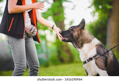 Owner giving snacks to american akita dog during obedience training