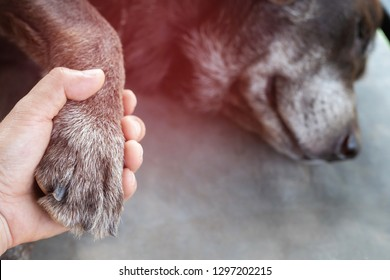 owner petting his dog, Hands holding paws dog are taking shake hand together while he is sleeping or resting with closed eyes. empty space for text. Emphasize the red area showing illness.