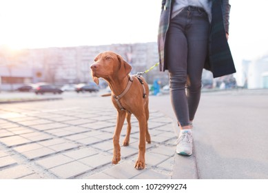 The owner walks around the city with a dog of the Magyar Vizsla breed. A beautiful dog walks on a leash with a girl.