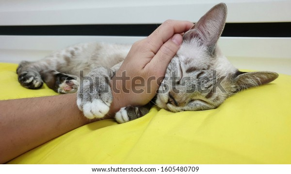 Owner's hand is stroking an adorable kitten cuddling and kneading owner hand.