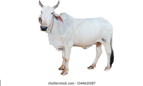 ox bull looking straight ahead isolated on white