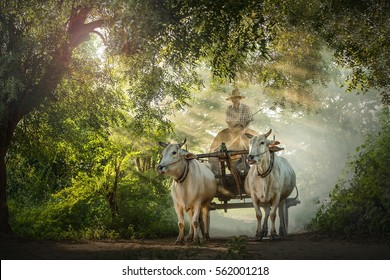 ox carts in Myanmar