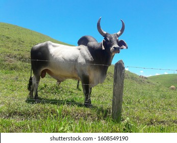 Ox Guzera was the first breed of Zebu cattle to arrive in Brazil.