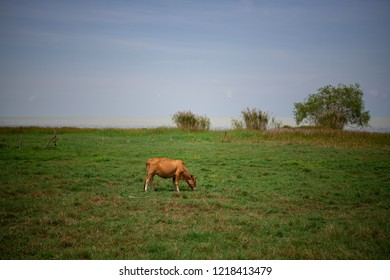 An ox is having grasses in a field that is near the lagune, Southern, Thailand.