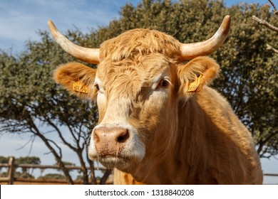 Ox Head. Cattle raising. Spain.