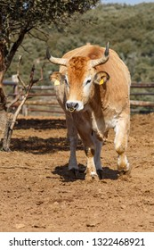 Ox moving inside a farm.