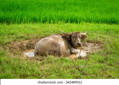 Ox in a mud on the rice field