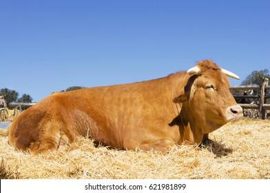 ox , oxen, cattle farm in Spain