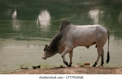 An ox (plural oxen), also known as a bullock in Australia and India. Photo of Indian stray ox roaming freely