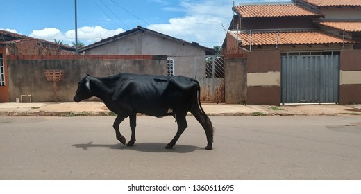 The ox is a ruminant mammal of the order Artiodactyla. It is part of the cattle group, is ungulate and has two digits in each member.