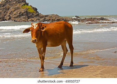 ox at the shore  of goa in india