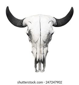 Ox skull on white background