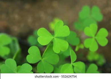 Oxalis acetosella (wood sorrel or common wood sorrel) - a rhizomatous plant from the genus Oxalis
