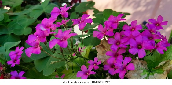 Oxalis articulata, known as pink-sorrel,pink wood sorrel, windowbox wood-sorrel, Chari amilo (Nepal),sourgrass,Netho (khatta) saag (India) is a perennial plant species in the genus Oxalis.