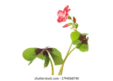 Oxalis flower, buds and foliage isolated against white
