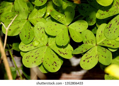 Oxalis pes-caprae, Bermuda Sorrel, perennial herb with bulbs borne on vertical white rootlike rhizome, no aerial stem, leaves trifoliate often spotted purple, flowers yellow in umbels.