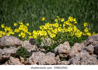 Oxalis pes-caprae on a wall in Malta