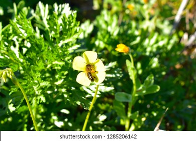 Oxalis pes-caprae (Yellow Flower)