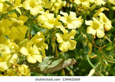 Oxalis pes-caprae with yellow flowers